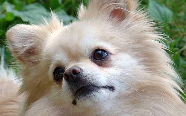 Если шпиц будет грызть все, что ему попадается, то у питомца рано начнутся проблемы с зубами и полостью рта