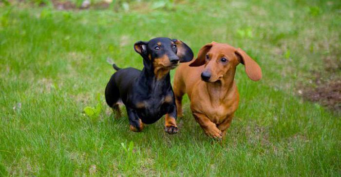 Желание пожилой собаки перейти на мягкую пищу естественно, но лучше совмещать ее с сухими кормами