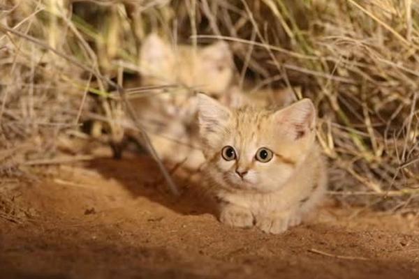 Завышенная цена на барханного кота - естественное положение дел на подпольном рынке