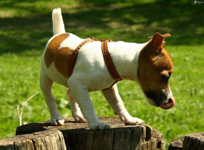 Замечательный представитель норных охотничьих собак