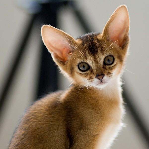 За последнее столетие абиссинская кошка уменьшилась в размерах, сохранив все пропорции