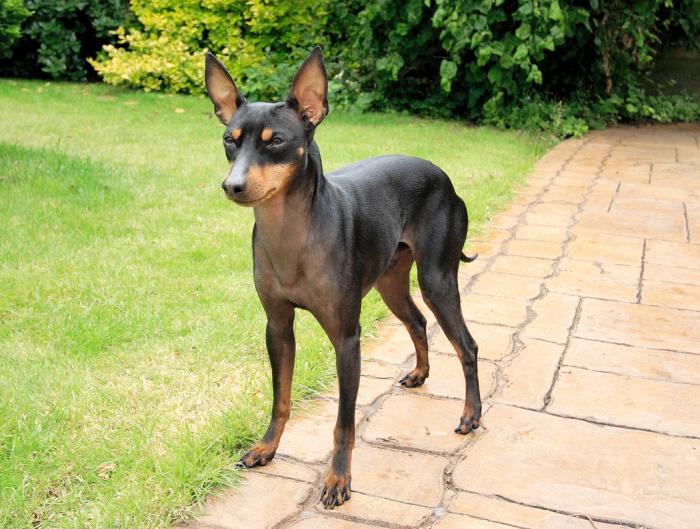 Здоровая собака выглядит бодро и жизнерадостно