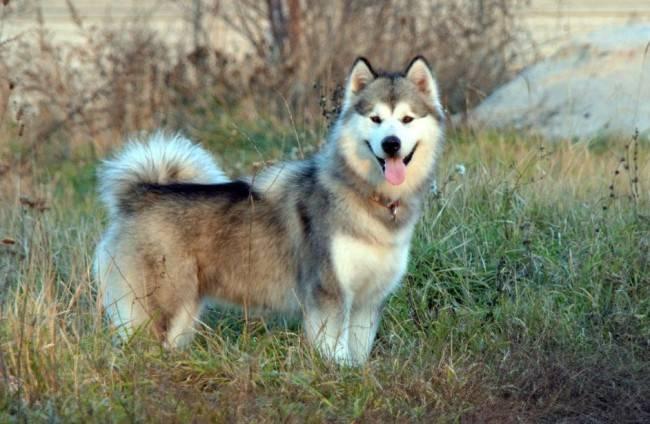 Здоровый образ жизни и плановые визиты к ветеринару помогут аламуту избежать многих недугов