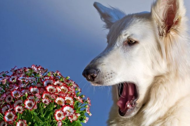 Из-за активной выработки лимфоцитов, клетки организма собаки становятся очень чувствительны к аллергену