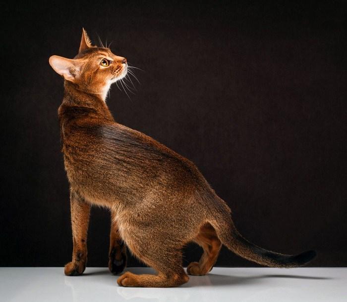 """Из-за своих компактных размеров и однотонного окраса за абиссинской кошкой ходило прозвище """"кроличья"""""""