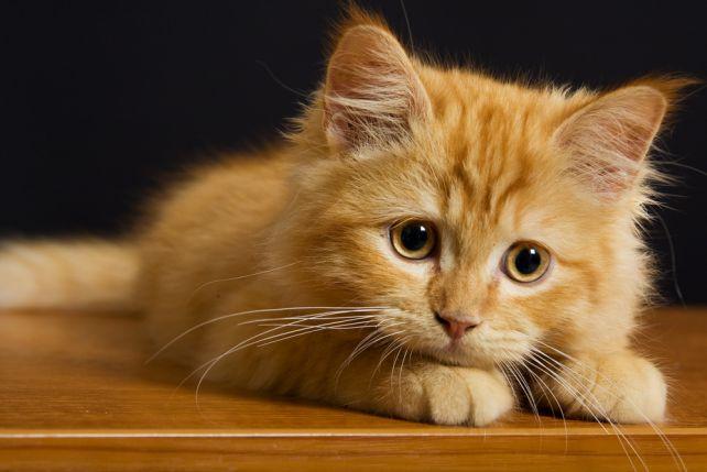Интенсивный рост у кошек происходит в первый год жизни