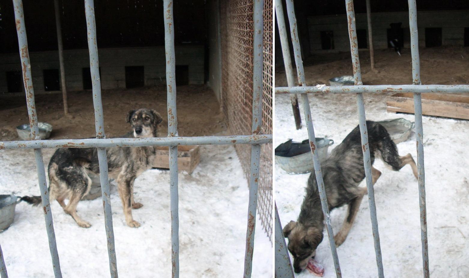 Истощенная собака в приюте