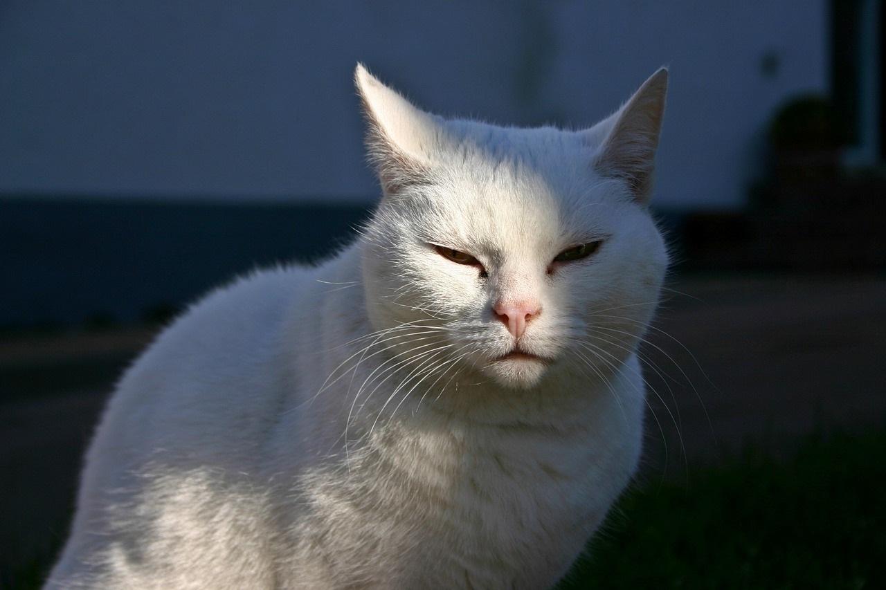 Каждая белая кошка индивидуальна и несет свой набор привычек и поведенческих особенностей