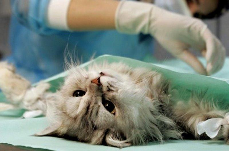 Как подготовить кота к кастрации