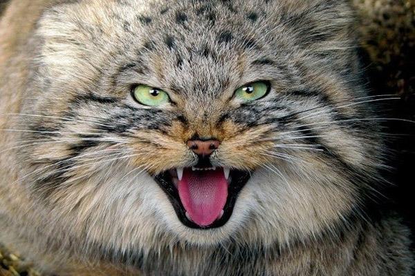 Как подметил Гюго, кошка дана человеку для того, чтобы у него был тигр, которого можно погладить. Иногда.