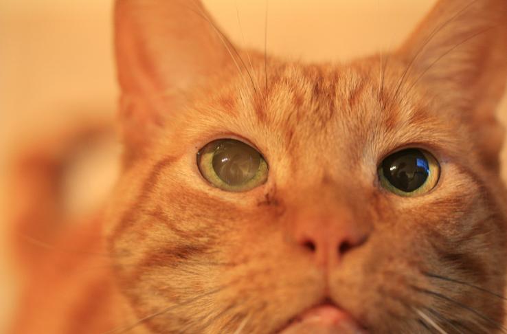 Катаракта - довольно частое явление у котов