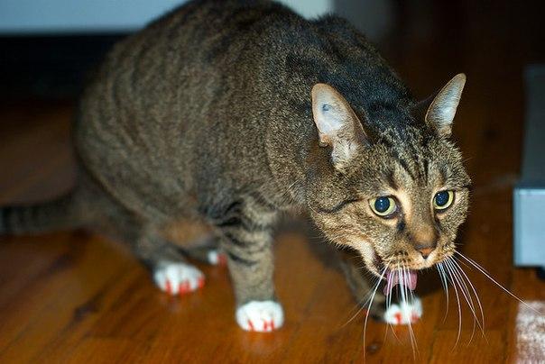 Кашель у кошек - сигнал заболеваний нижних дыхательных путей у кошки