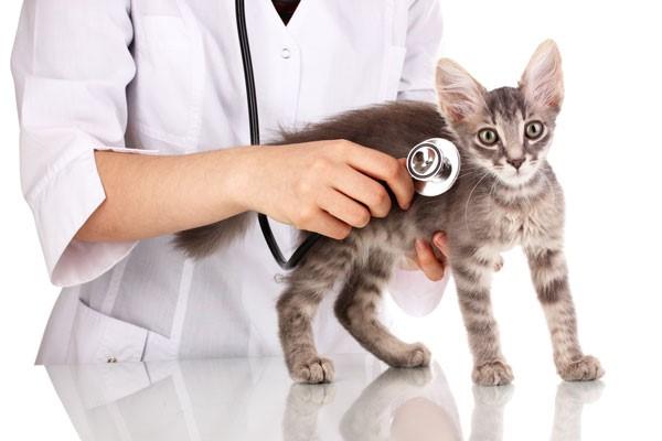 Кашляющего или чихающего кота нужно немедленно везти в клинику