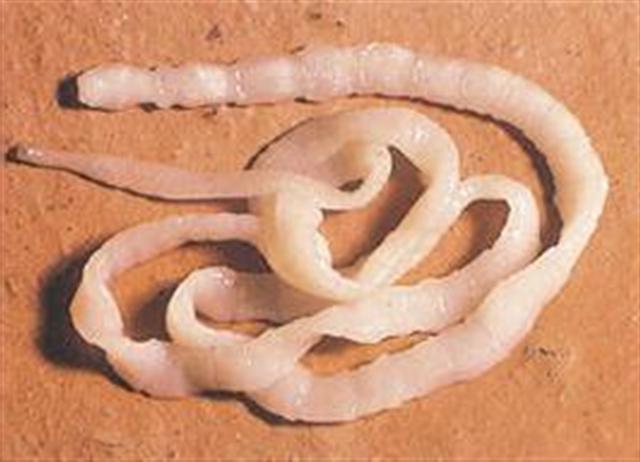 Компоненты Дронтала эффективно препятствуют размножению глистов