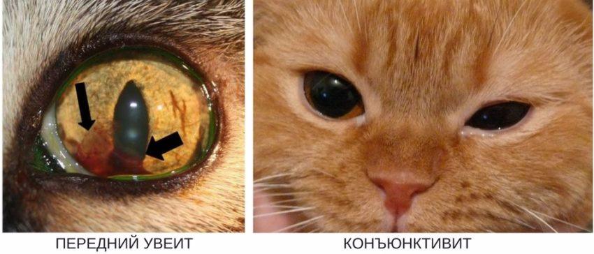 Конъюнктивит и увеит у кошки