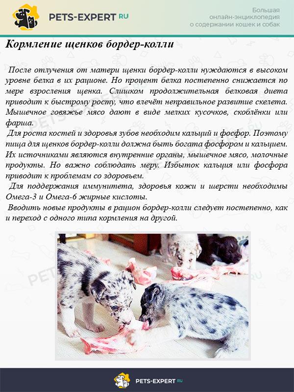 Кормление щенков бордер-колли