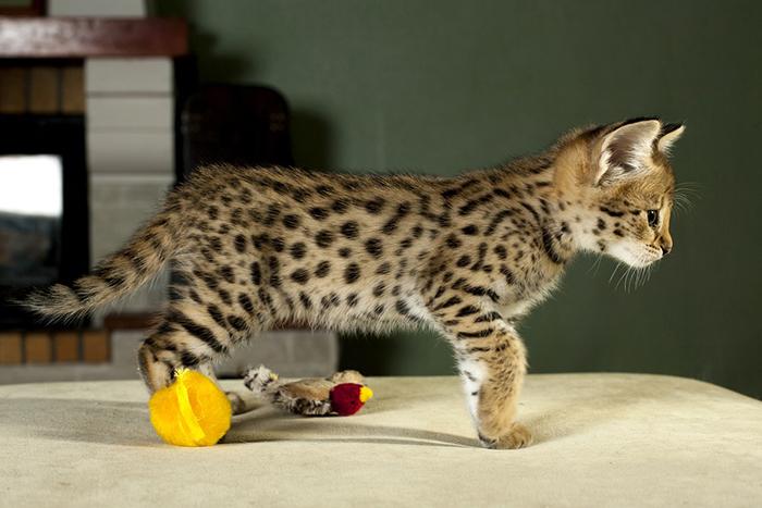 Котенок кошки саванна