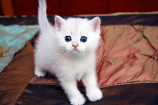 Котенок может получить белый окрас несмотря на то, что его генетический код будет содержать и иные цвета