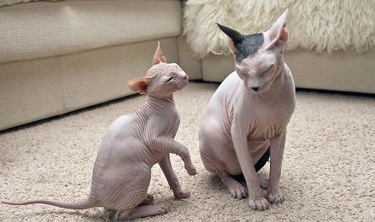 Коты гораздо крупнее, вес самца может достигать 7 кг, кошки обычно мельче от 3,5 до 5 кг