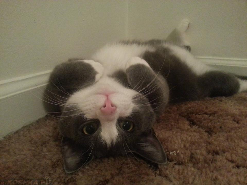Коты не совершают лишний движений - если они выбрали такую позу, значит она наиболее комфортна