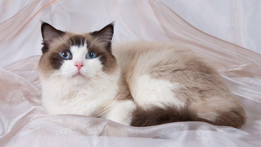 Коты породы рэгдолл отличаются удивительно покладистым характером