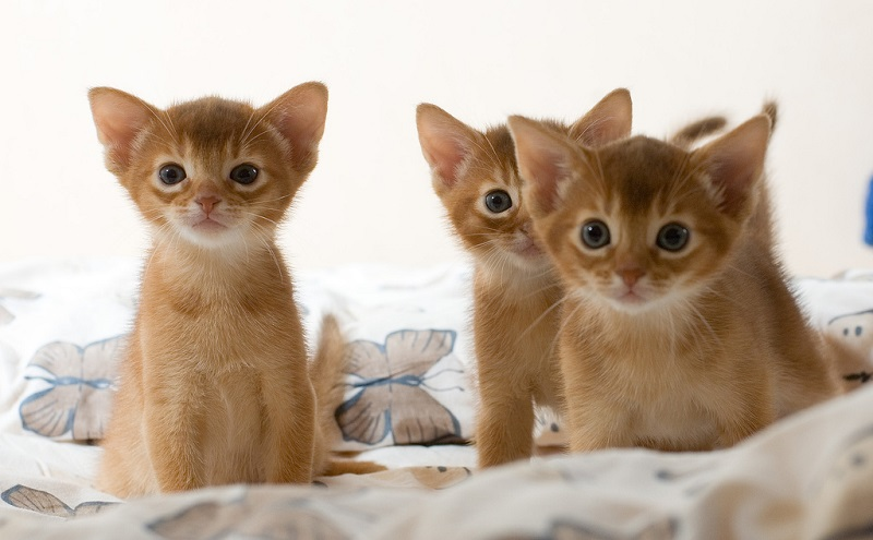 Котята абиссинов очень пушистые, породу в них можно признать только по окрасу