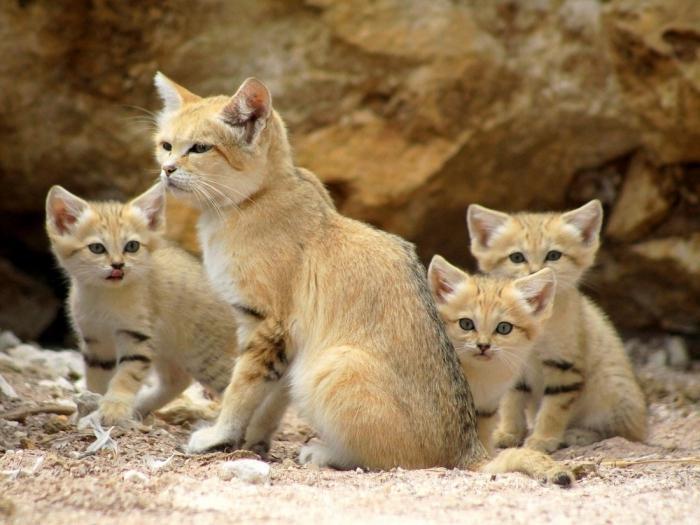 Котята почти с первых месяцев составляют компанию матери в процессе охоты