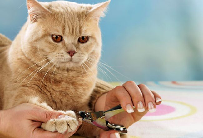 Кот привыкнет к насадкам быстрее, если правильно обрезать коготь перед приклеиванием колпачка