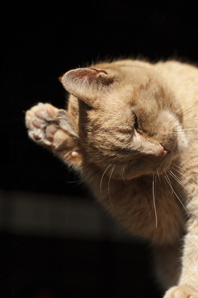 Кот трясёт ушами