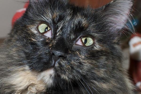 Кошачье «третье веко»