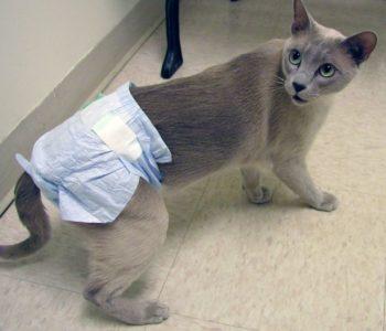 Кошачьи подгузники с прорезью для хвоста продаются в зоомагазинах