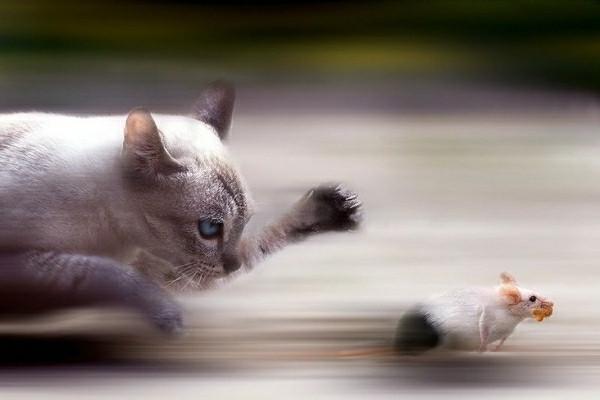 Кошка может отравиться, поймав крысу, имевшую контакт с ядом