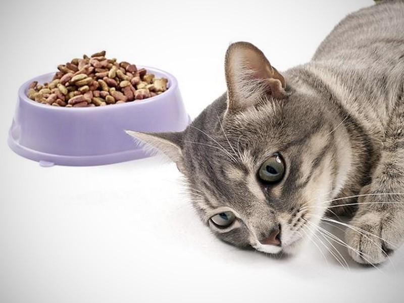 Кошка отказывается есть? Скорее всего она нездорова