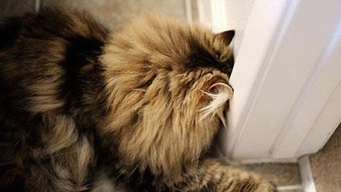 Кошка подпирает стену головой — возможно, у неё неврологические проблемы