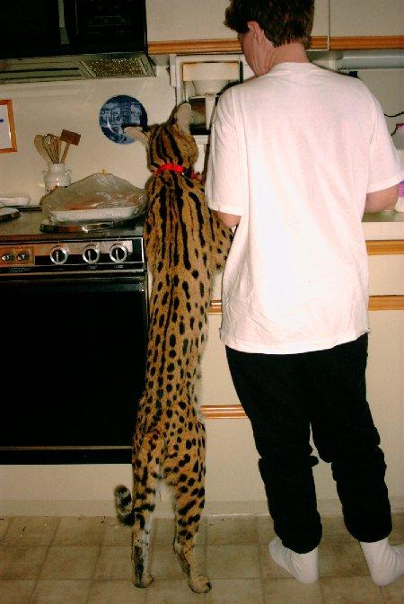 Кошка породы саванна с человеком