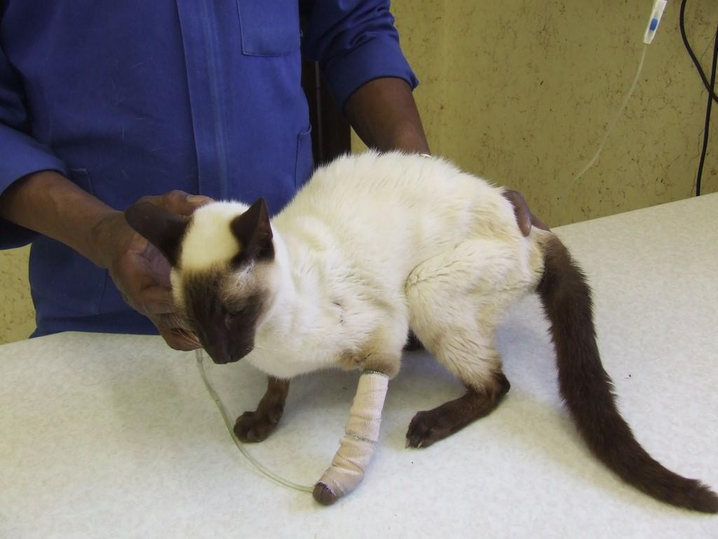 Кошка с дефицитом массы тела