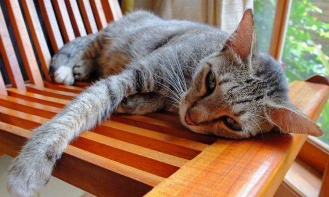 Кошка с побочными эффектами от Доксициклина - слабость и отсутствие аппетита