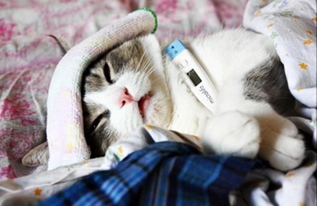 Кошки легко заражаются инфекциями, вызванными вирусами, грибами или бактериями