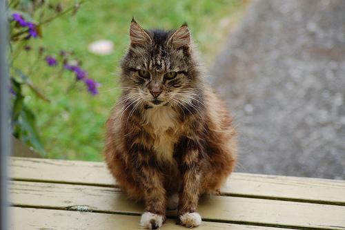 Кошки от 7 лет подвержены болезням больше всех, поэтому необходимо проводить их ежегодные полноценные обследования