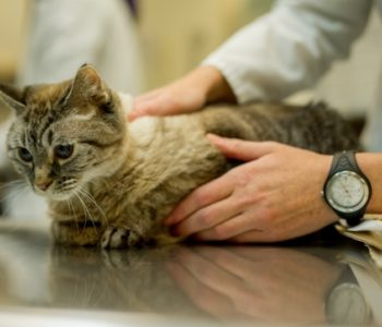 Кошки с лёгкой формой атаксии способны прожить счастливую жизнь