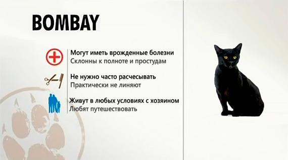 Краткая характеристика бомбейской породы кошек