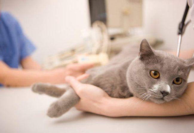 Лечение экземы у кошек проводится только при контроле ветеринара