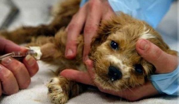 Лечение энцефалита у собаки