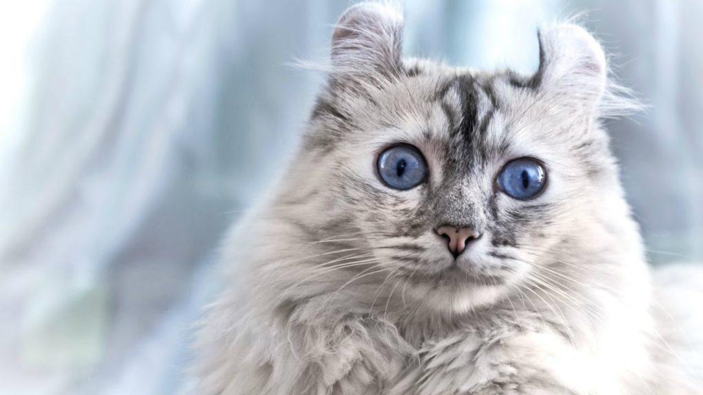 Люди по всему земному шару заинтересованы в приобретении котов с такой нетривиальной внешностью