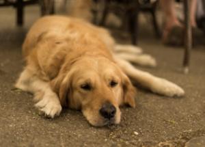 Малая подвижность собаки - одна из причин дисплазии
