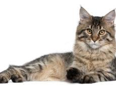 Породы кошек размером с собак thumbnail