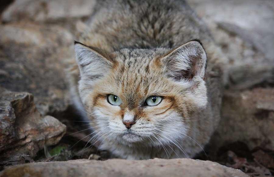 Места, где ранее приживались барханные коты, постепенно уменьшаются