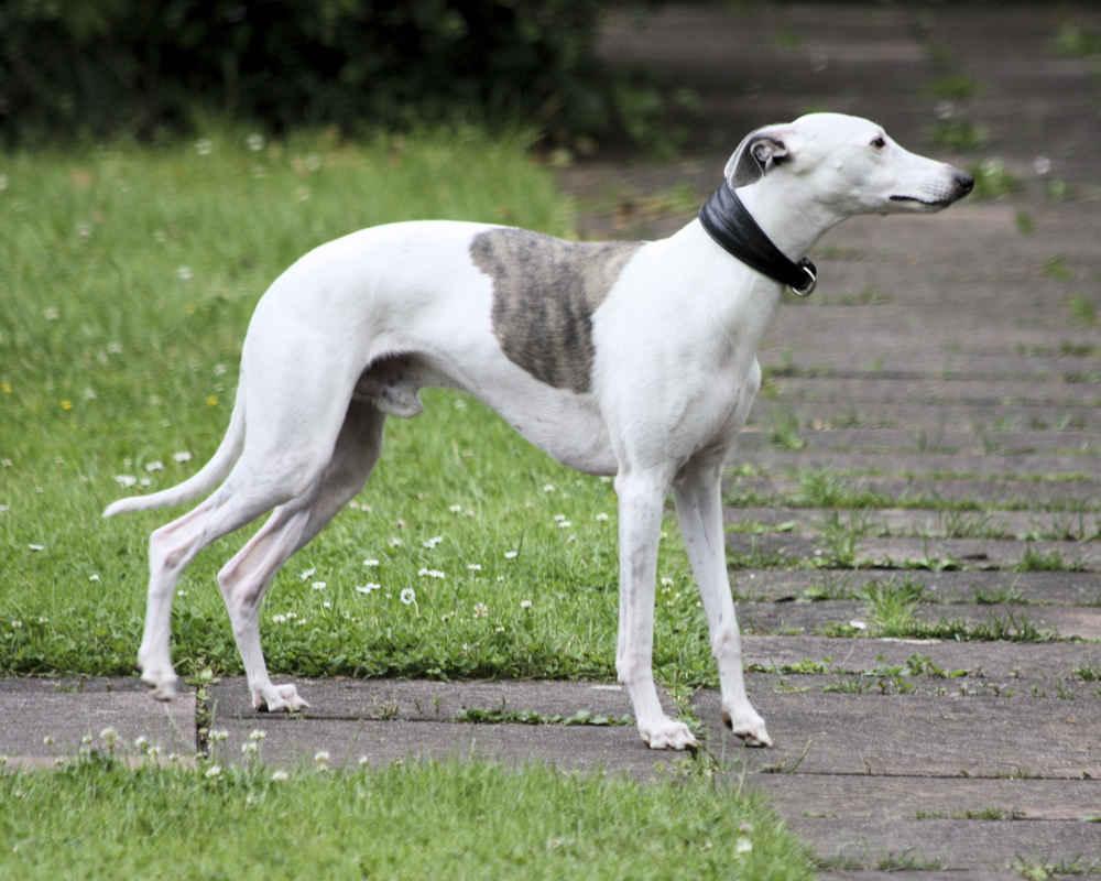 Молодая собака астеничного телосложения