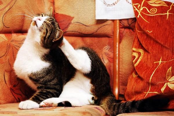 На более поздних стадиях заболевание легко распознать по характерному поведению кота