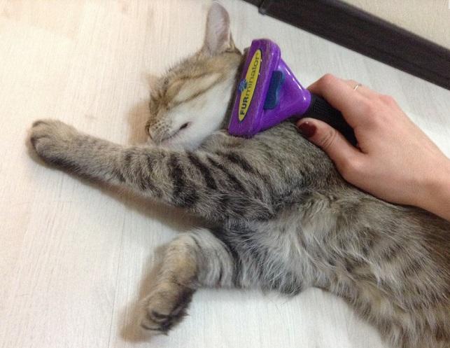 Некоторые коты сами трутся о фурминатор в ожидании продолжения вычесывания
